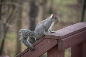 Grey squirrel sitting on the railing of a red-brown deck
